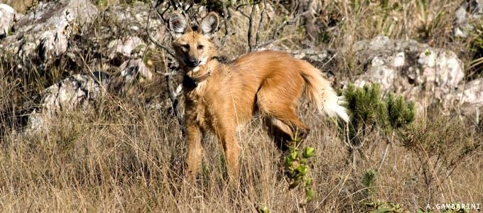 A busca pelo lobo-guará na Serra da Canastra