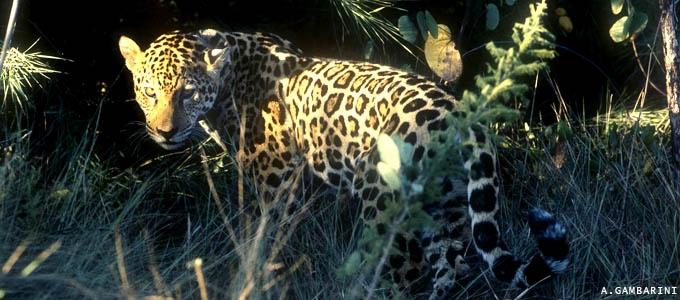 Reportagens sobre os incêndios no Pantanal com as informações do Instituto Pró-Carnívoros