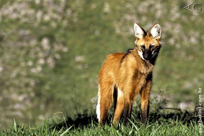 Reportagem do IPC com o Lobo-guará na Serra da Canastra