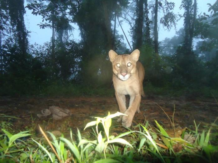 Projeto mapeia o comportamento de onças para evitar a extinção da espécie