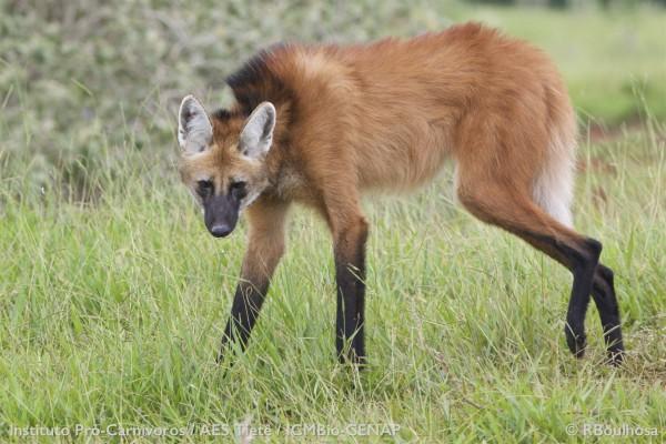 Lobo-guará, o 'semeador de árvores' ameaçado na natureza e homenageado em nota de R$ 200