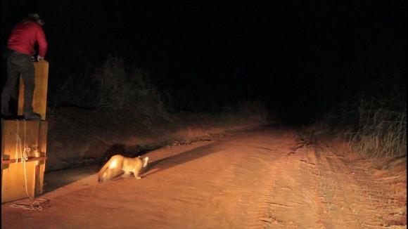 Onça-parda capturada em Lins é devolvida à natureza