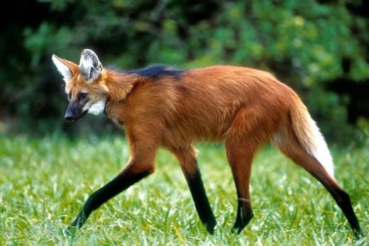 Entre carros e plantações, lobo-guará luta para sobreviver no que resta do Cerrado